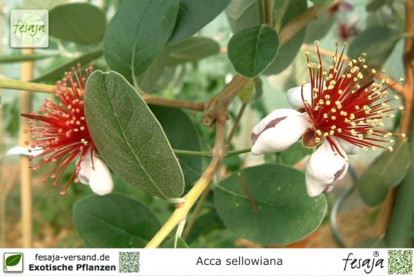 Ananasguave, Acca sellowiana, Feijoa, Pflanze