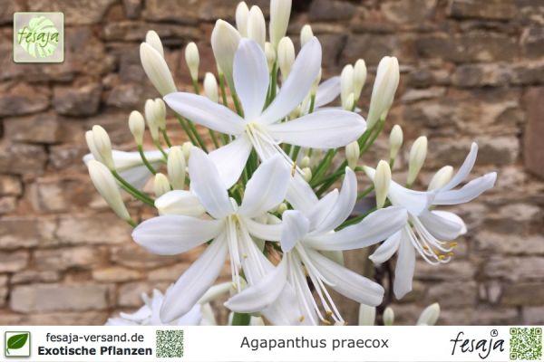 Frangipani weiß, Plumeria obtusa, Pflanze - fesaja-versand