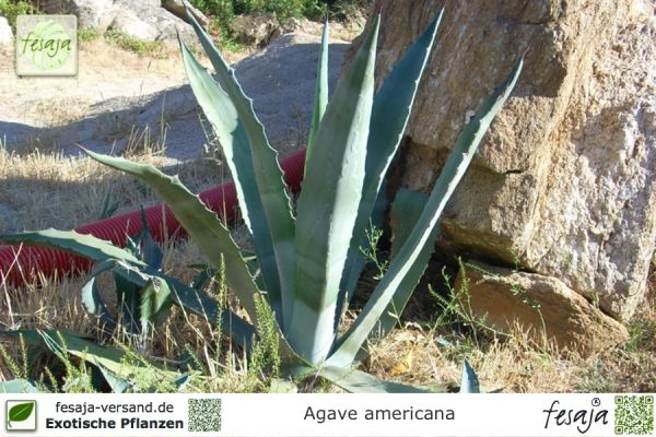 Amerikanische Agave, Agave americana, Pflanze
