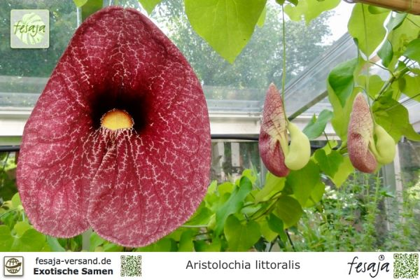 Gespensterpflanze, Aristolochia littoralis