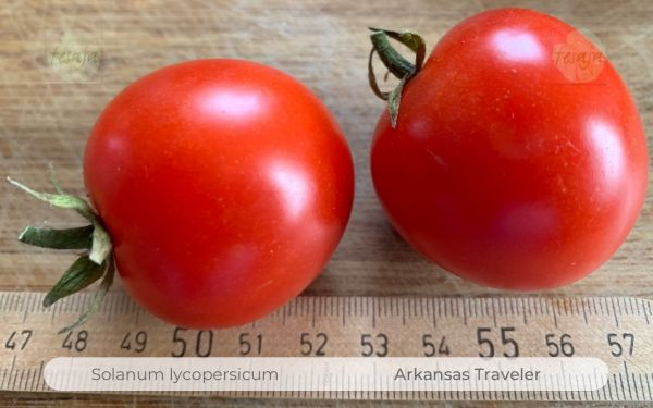 Tomate Arkansas Traveler