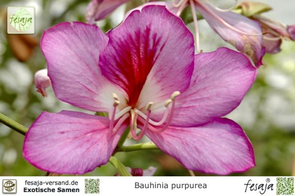 Hawaiischer Orchideenbaum, Bauhinia purpurea