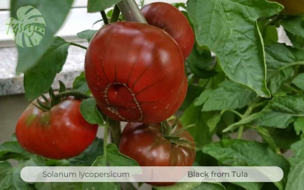 Tomate Black from Tula
