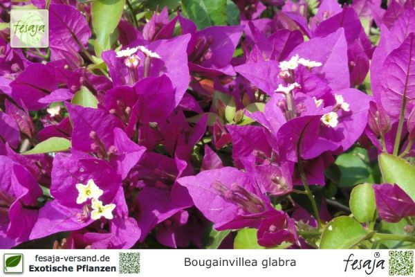 drillingsblume violett bougainvillea glabra pflanze fesaja versand. Black Bedroom Furniture Sets. Home Design Ideas