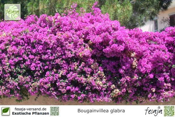 drillingsblume violett bougainvillea glabra pflanze fesaja versand. Black Bedroom Furniture Sets. Home Design Ideas