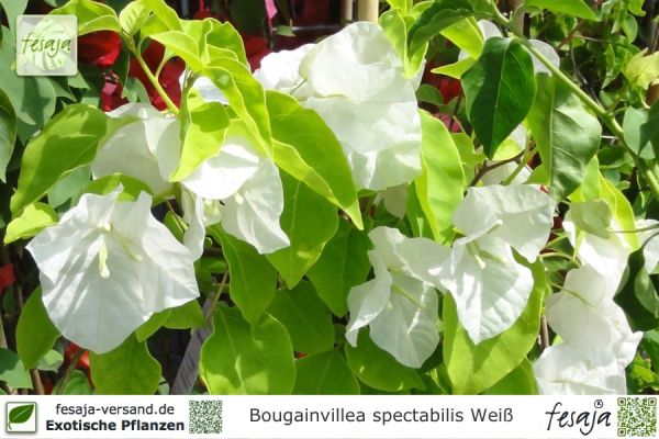 Drillingsblume weiss, Bougainvillea spectabilis, Pflanze