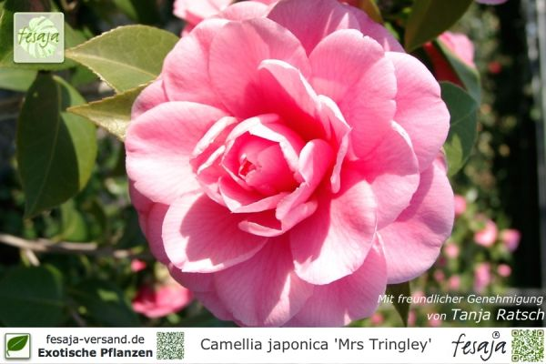 Camellia japonica Mrs Tingley Pflanze
