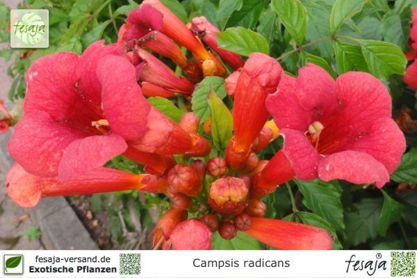 Trompetenblume Campsis Radicans Pflanze