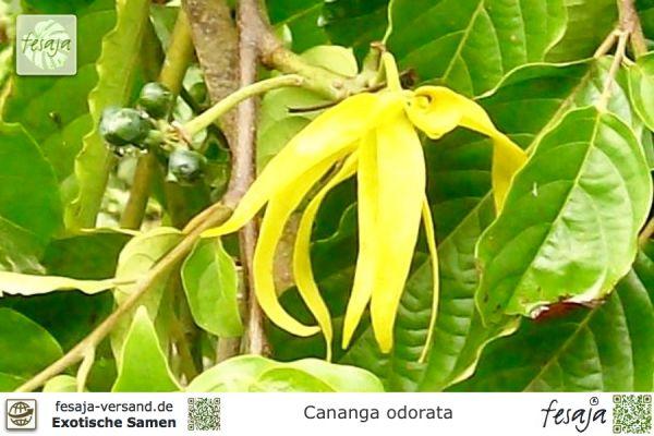 Teakbaum frucht  Teakholzbaum, Teakbaum, Tectona grandis, Samen - fesaja-versand