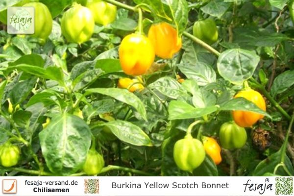 Burkina Yellow Scotch Bonnet