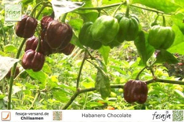 Habanero Chocolate