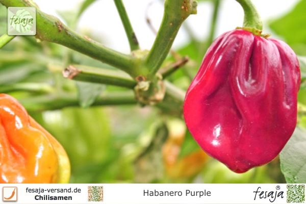Habanero Purple