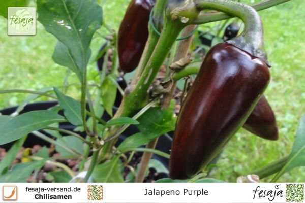 Jalapeno Purple