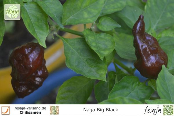 Naga Big Black