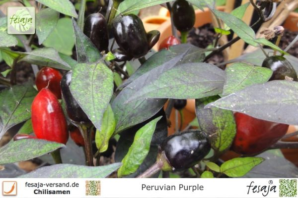 Peruvian Purple