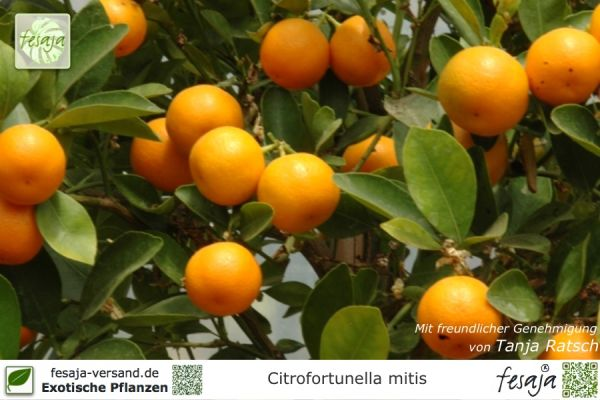 Calamondin-Orange, Citrofortunella mitis, Pflanze