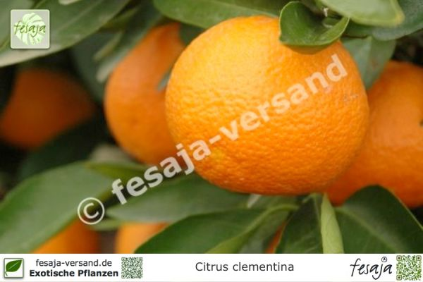 Clementine, Citrus clementina, Pflanze