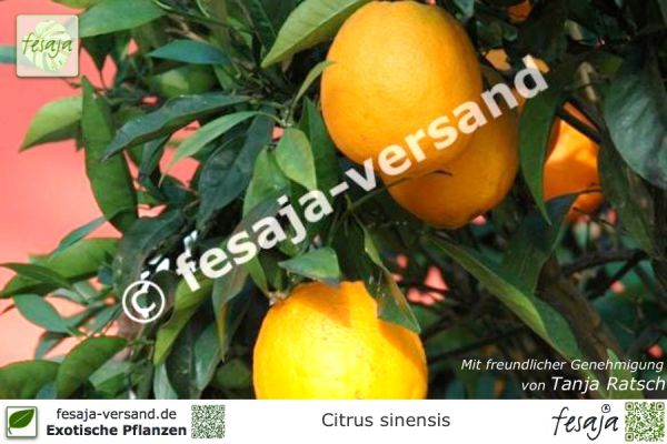 Nabel-Orange, Citrus sinensis Navelina, Pflanze