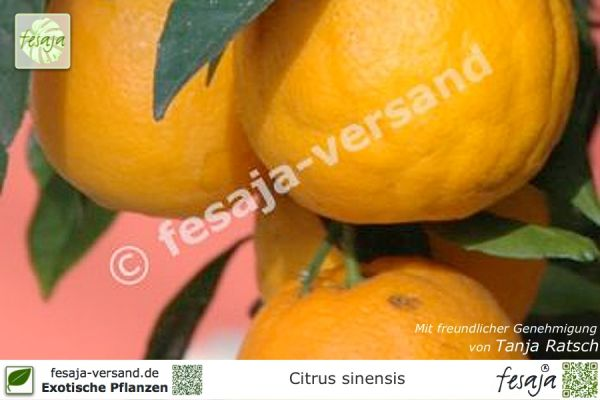 Valencia Orange, Citrus sinensis Valencia Late, Pflanze