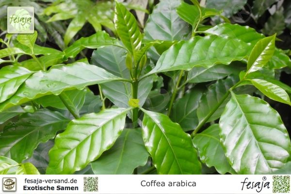 Arabica-Kaffee, Coffea arabica