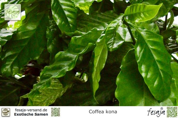 Hawaii Kaffee, Coffea kona