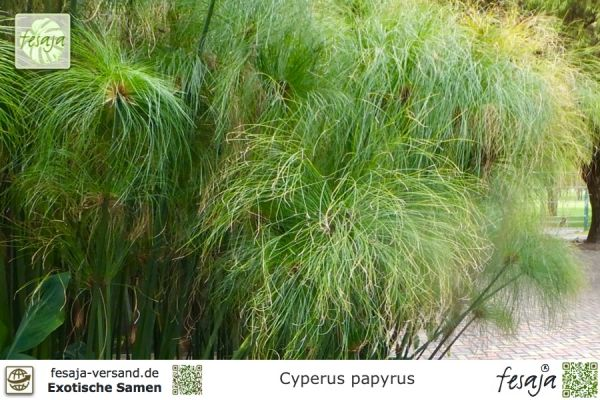 echter papyrus cyperus papyrus fesaja versand. Black Bedroom Furniture Sets. Home Design Ideas