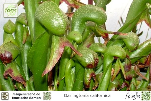 Kobralilie, Darlingtonia californica