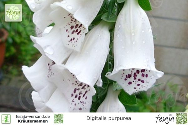 Fingerhut, Mischung, Digitalis purpurea