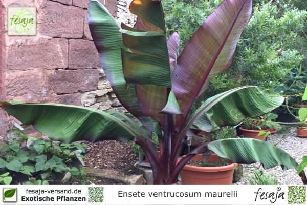 Hochwertig Abyssinische Banane, Ensete Ventricosum Maurelii, Pflanze