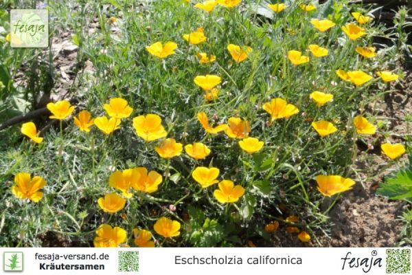 Kalifornischer Mohn, Eschscholzia californica