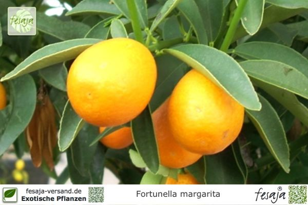Kumquat, Fortunella margarita, Pflanze