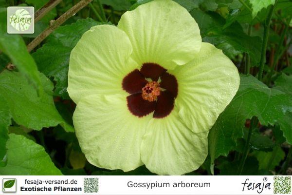 Asiatische Pflanzen pflanzen aus asien fesaja versand