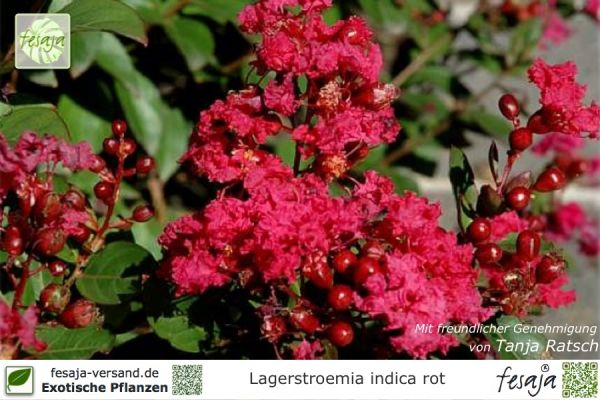 Rote Kreppmyrte, Lagerstroemia indica rubra, Pflanze