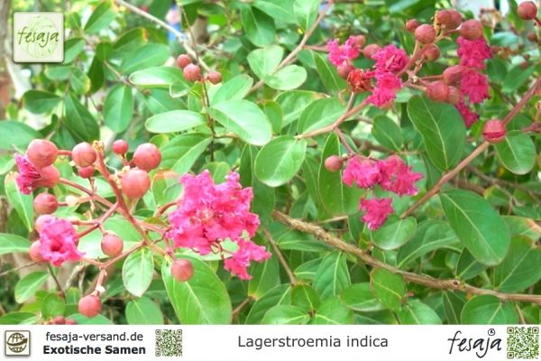 Flieder Des Sudens Rot Lagerstroemia Indica Pflanze Fesaja Versand