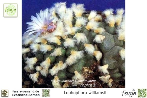 Peyote Kaktus, Lophophora williamsii, Samen