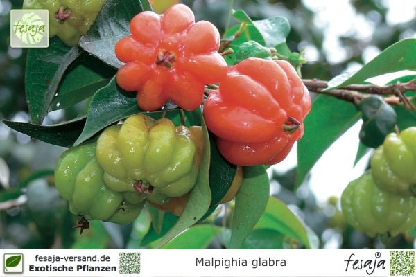 Acerola Kirsche, Malpighia Glabra, Pflanze