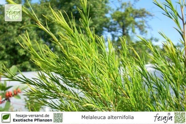 Pflanzen aus australien fesaja versand for Zimmerpflanzen versand