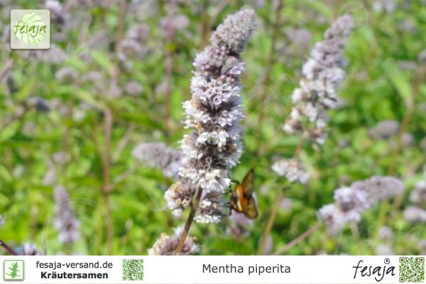 Pfefferminze, Mentha piperita