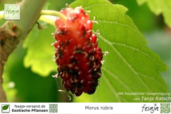Roter Maulbeerbaum, Morus rubra, Pflanze