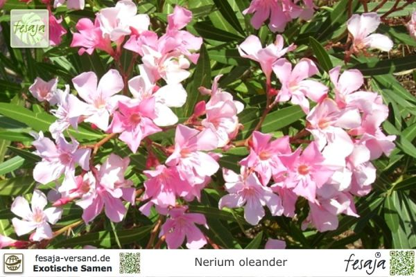 oleander gelb nerium oleander pflanze fesaja versand. Black Bedroom Furniture Sets. Home Design Ideas