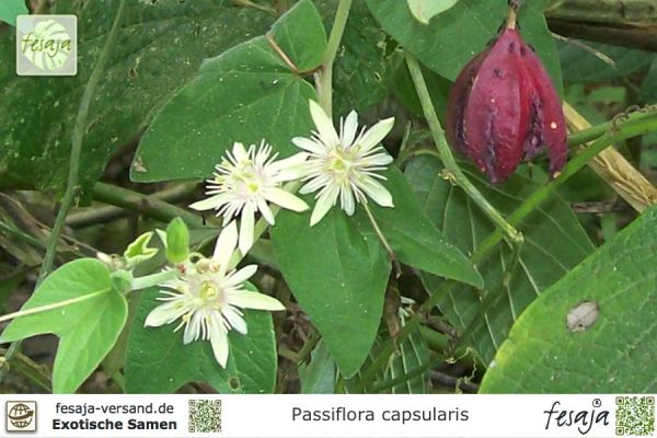 Passiflora capsularis 'Vanilla Cream'