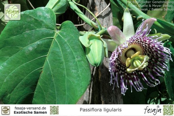 Süße Granadilla, Passiflora ligularis