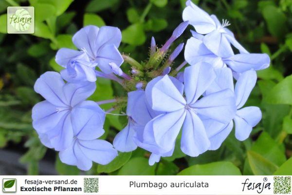Kap Bleiwurz Plumbago Auriculata Pflanze