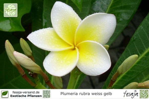 Pflanzen aus Südamerika Seite 4 - fesaja-versand