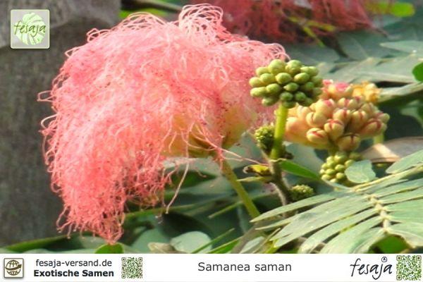 Samanea saman Regenbaum Tolle Wuchsform 10 Samen