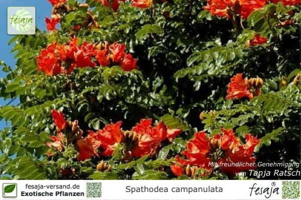 Exotische Pflanzen Fesaja Versand