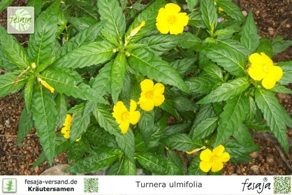 Turnera ulmifolia
