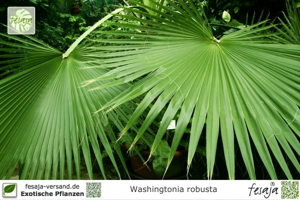 Washingtonpalme, Washingtonia robusta, Pflanze