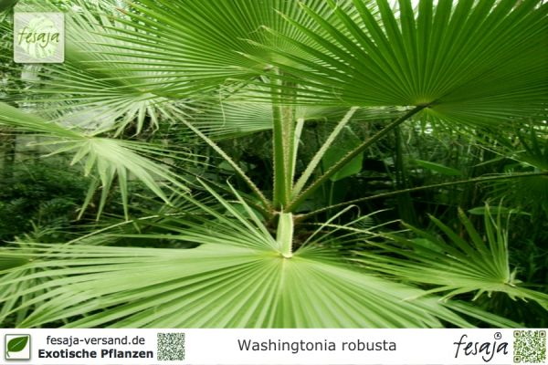 Washingtonia robusta Pflanzen