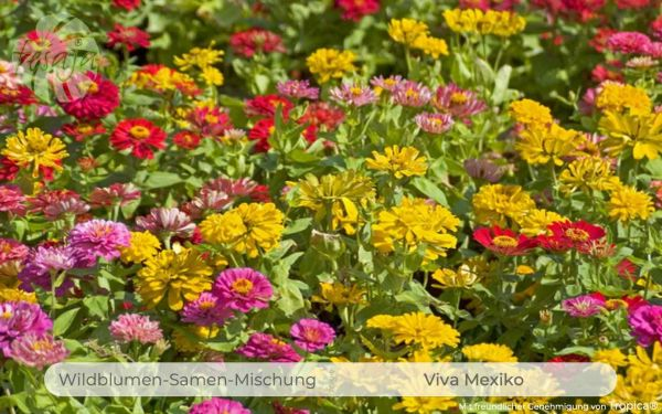 Viva Mexiko - Farbenfrohe Zinnienwiese